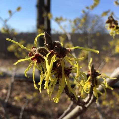 Hamamelis  sp. blooming in Cross River, NY! Photo by Graham Glauber