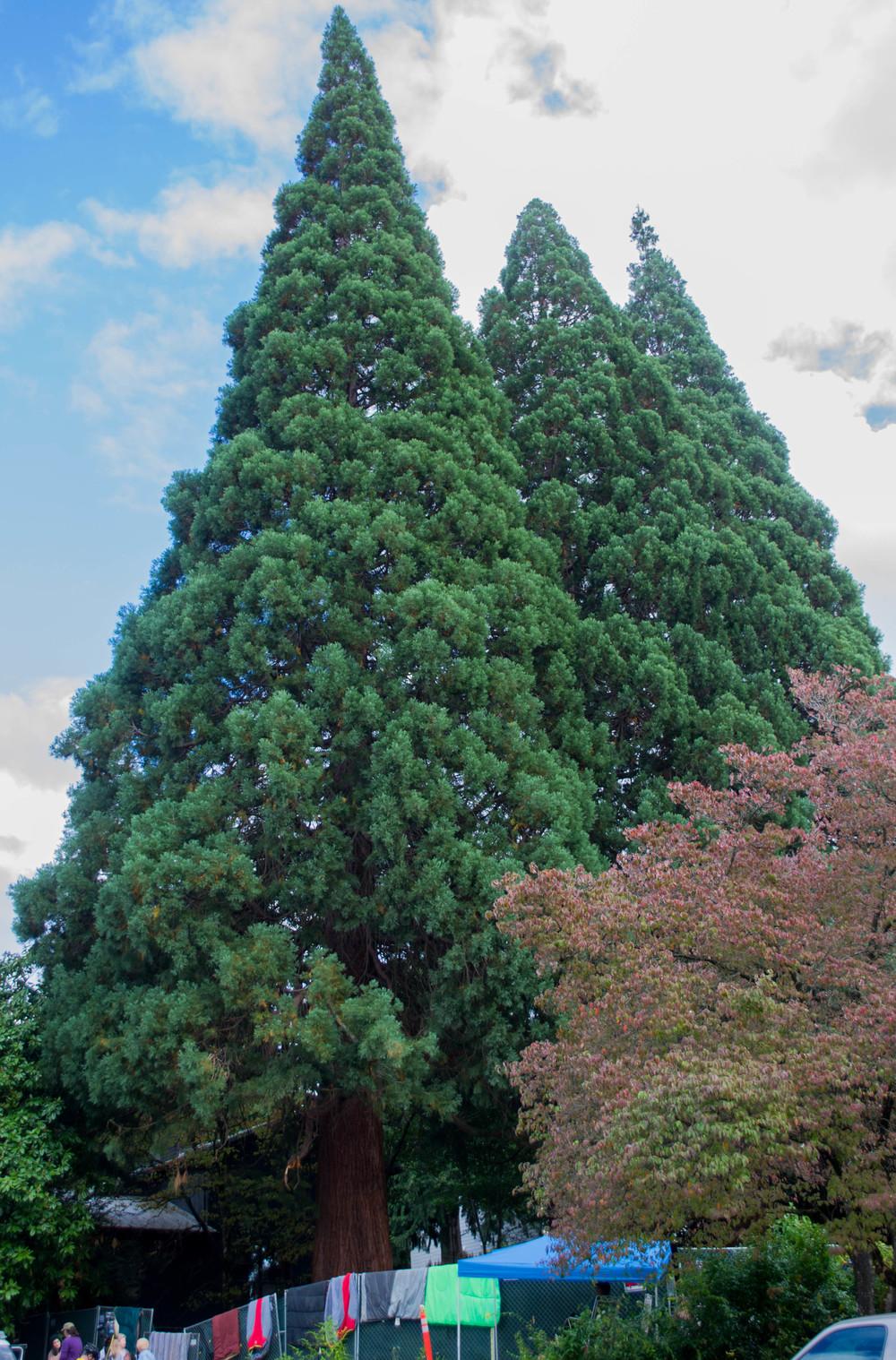trees (4 of 7).jpg