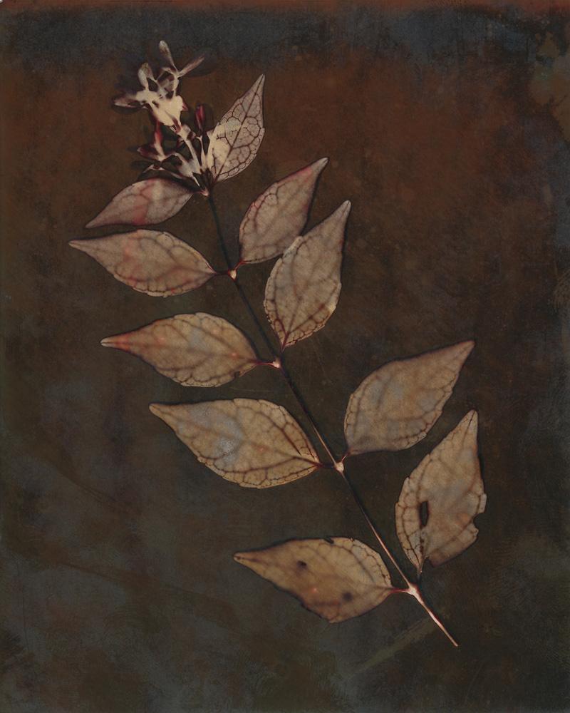 Lumen 88B - Abelia
