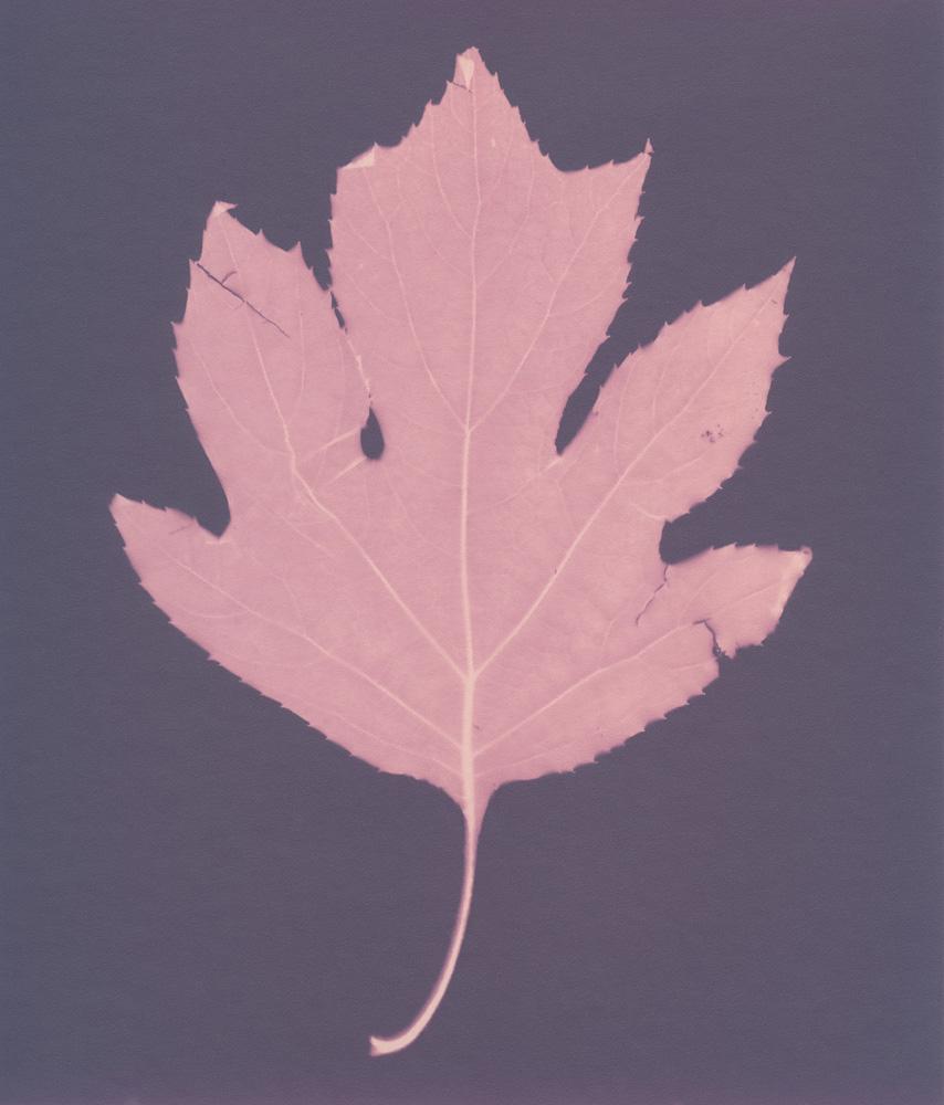 Lumen 105 - Hydrangea