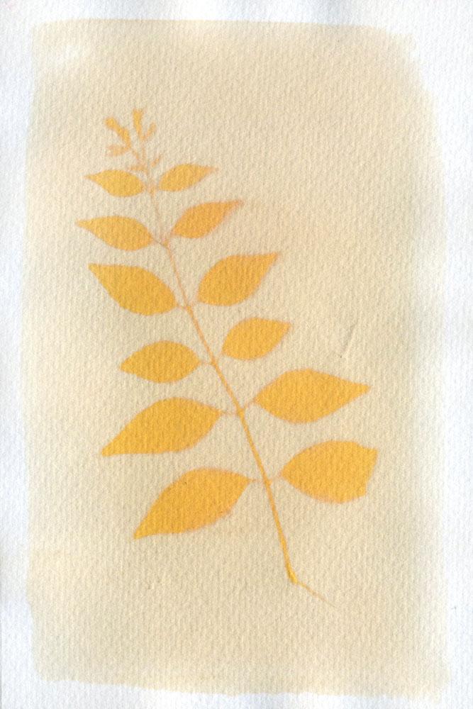 Sandalwood – Glossy Abelia