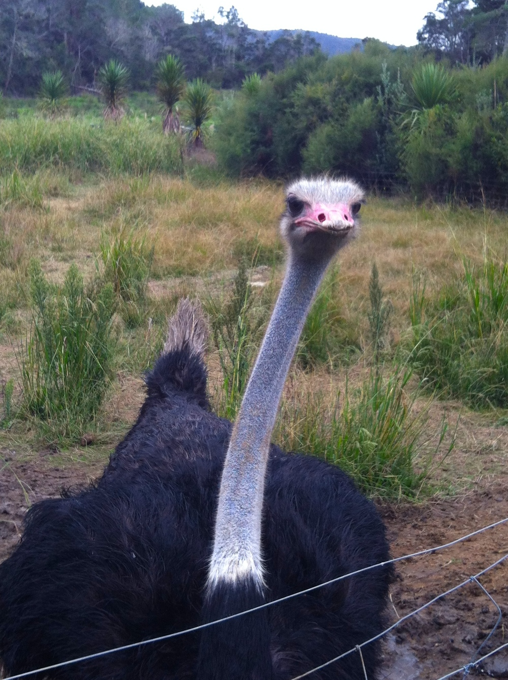 This ostrich was so intense! He got right up in our faces.