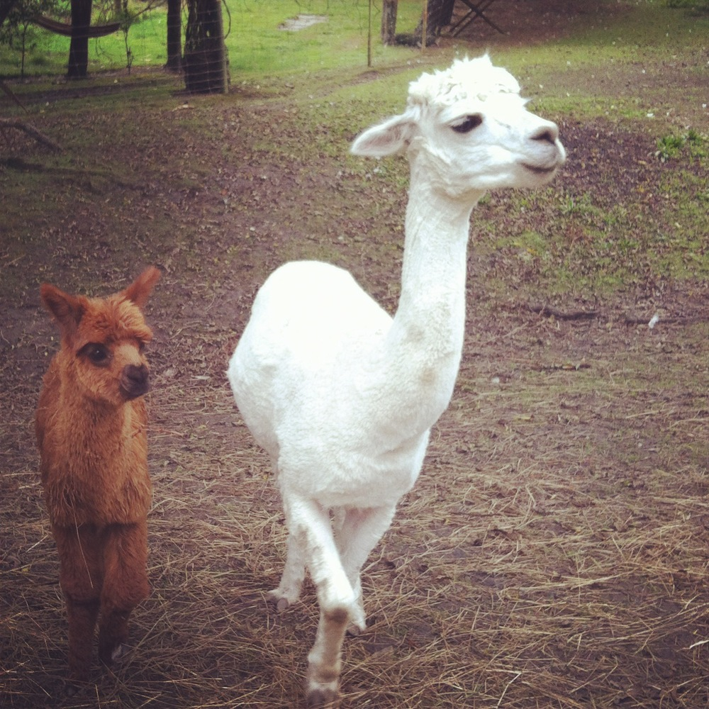 I mean seriously, how can you resist this baby alpaca fuzzy cuteness?