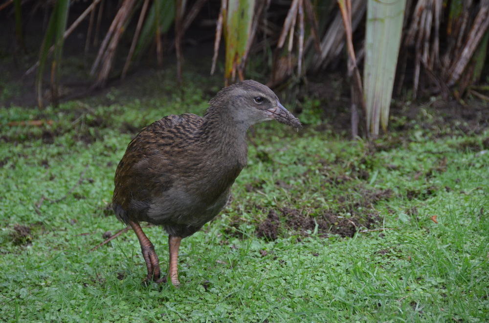 Weka, also known as a Maori Hen, is a flightless bird endemic to New Zealand.