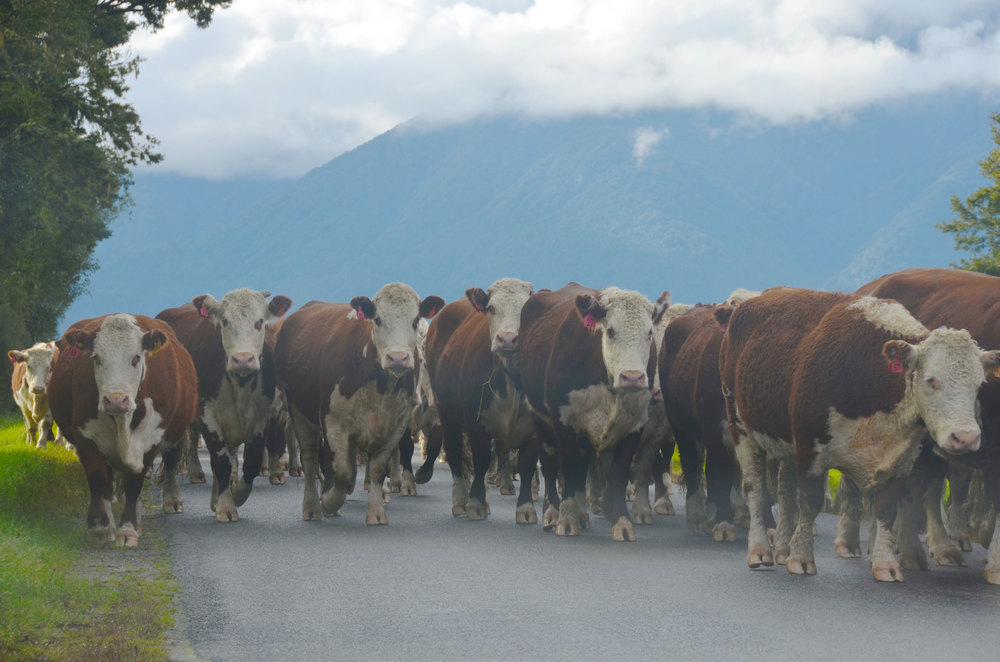 This was just such a  classic New Zealand moment ! While traveling across the South Island of New Zealand with my parents, we were forced to stop and turn off the car in the middle of the highway while a sheepdog steered a herd of cattle around our car.