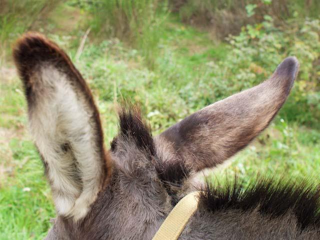 Ezelsren zijn heerlijk donzig © Jan Hazevoet