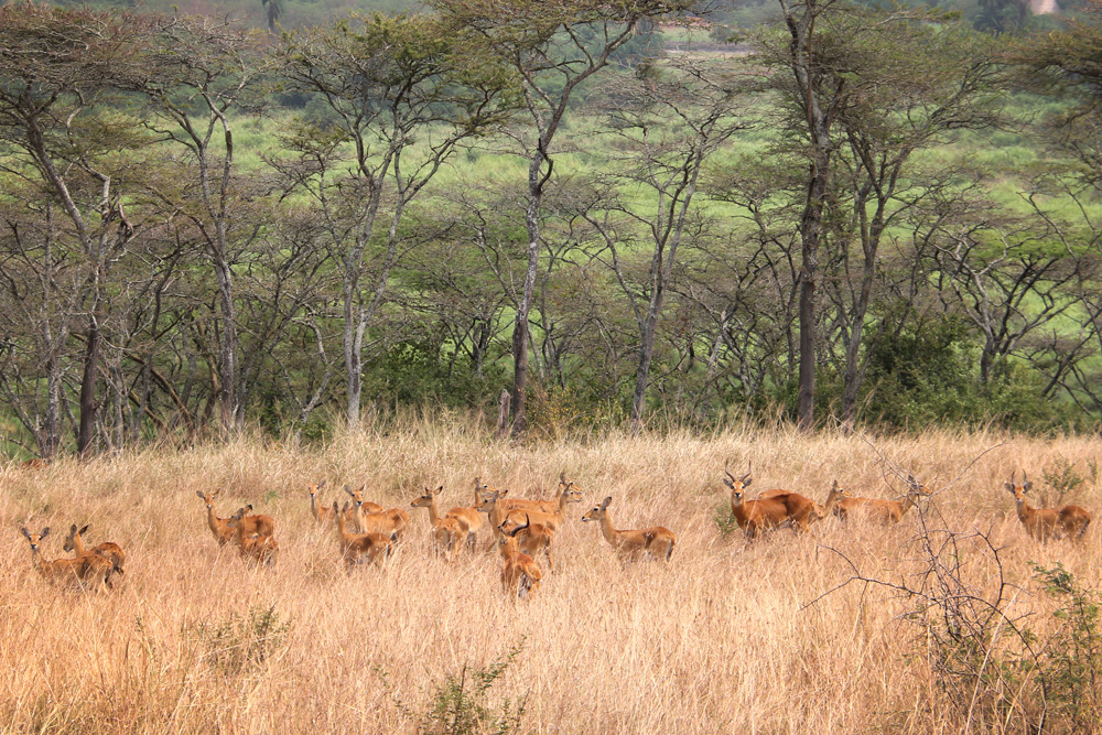 Antelope in Queen Elizabeth National Park.