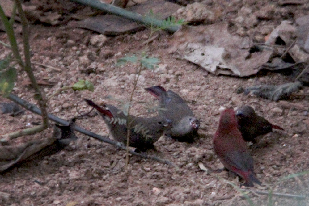 A group of lady red-billed firefinches offering food to the male