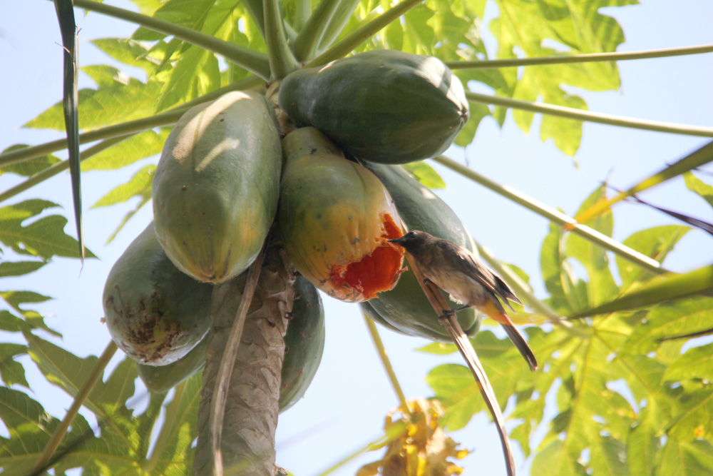 A bird eating papayas
