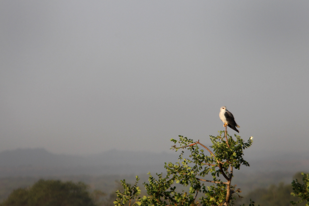 A black-shouldered kite on campus