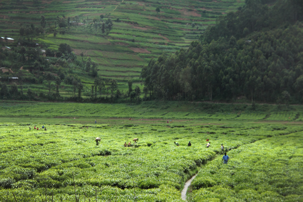 Workers in Rwanda's tea fields