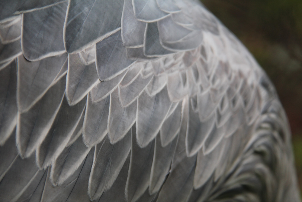 Feathers of a shoebill stork