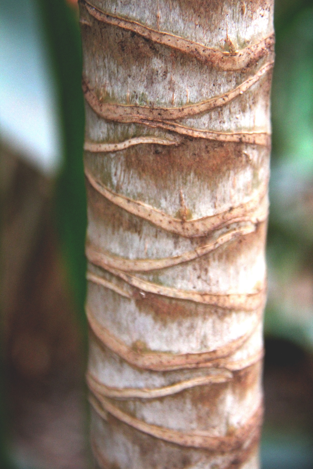Trunk of a papaya tree