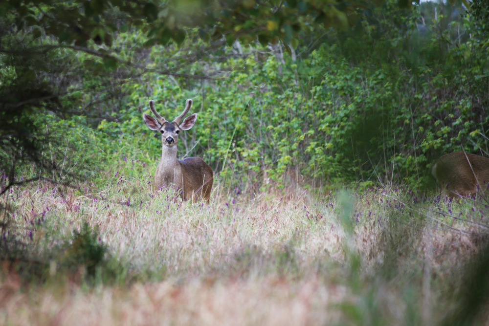 A buck at Andrew Molera State Park