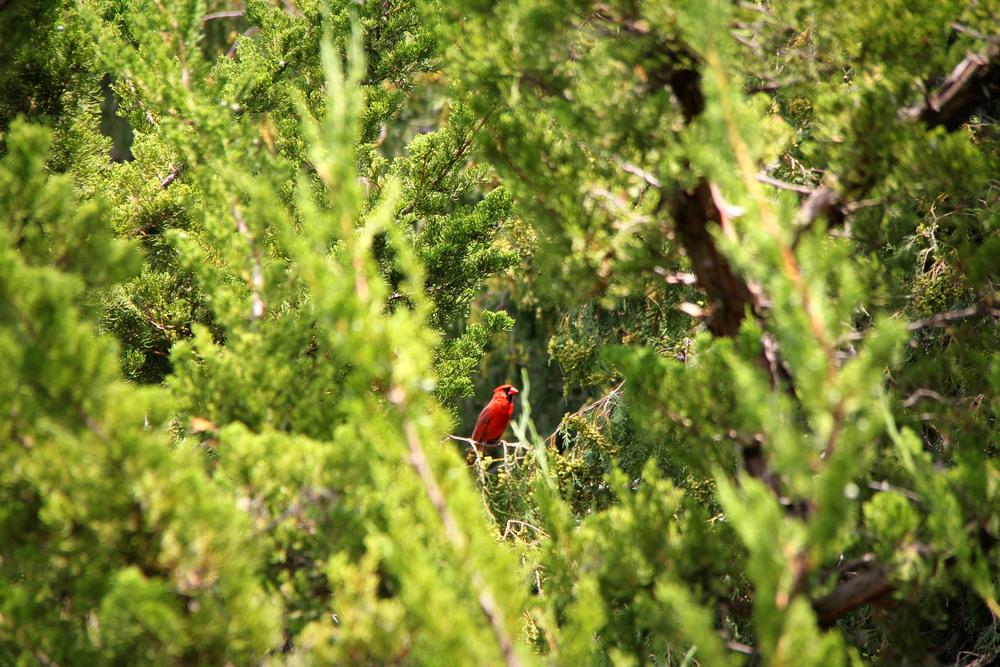 8.7.12 Cardinal.JPG