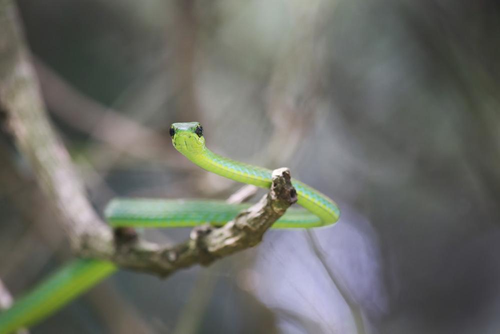 Green garden snake