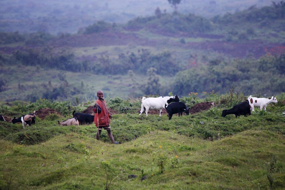A boy herding his goats