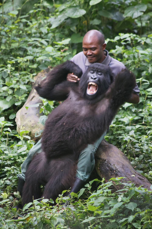 Patrick, tickling his gorilla friend at Mikeno