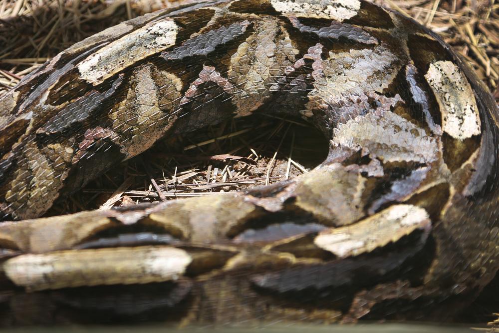 viper snake skin