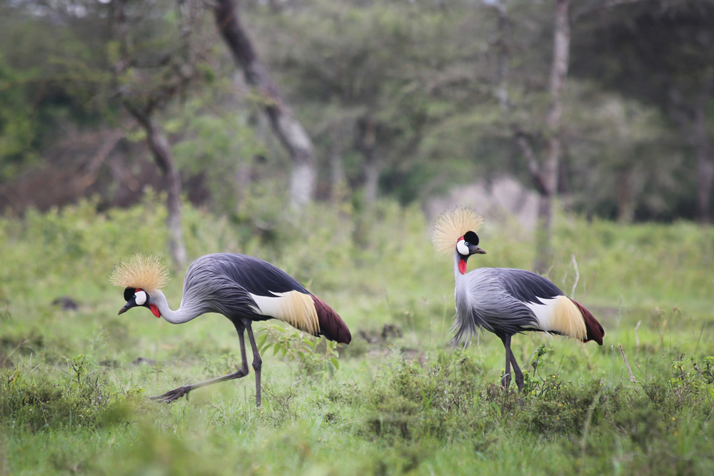 Uganda crested cranes