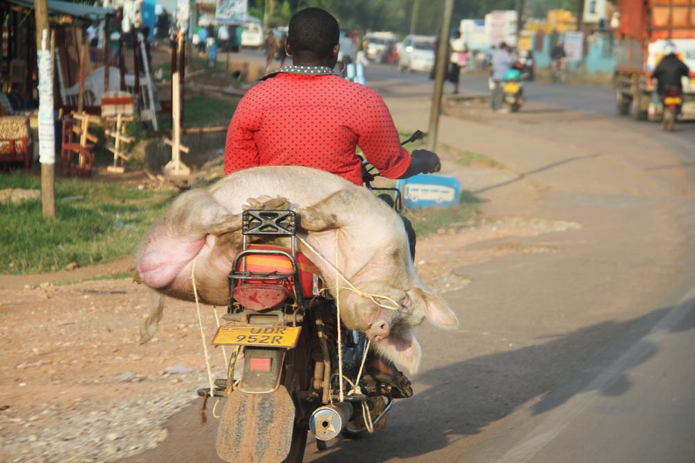 swine on a boda