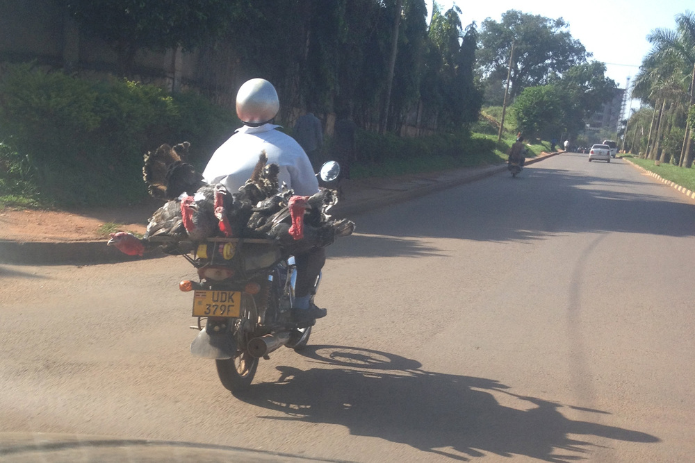 turkeys on a boda