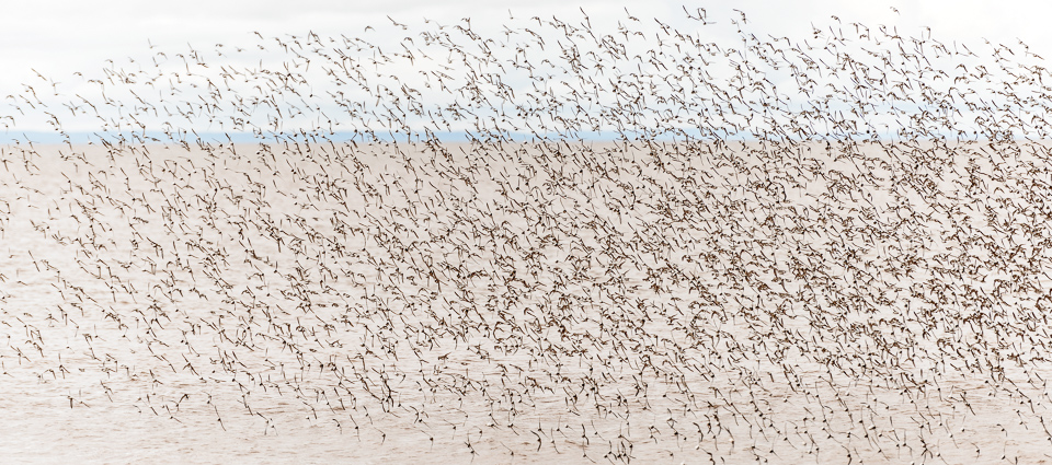 NIgel Fearon Photography | Sandpipers-4.jpg