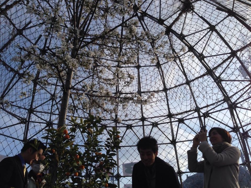 温室ドームの中で育てられた桜は既に満開でした。