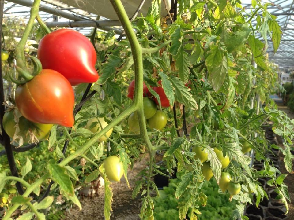 トマトも結構重いと思いますが、上からしだれるようになっていました。