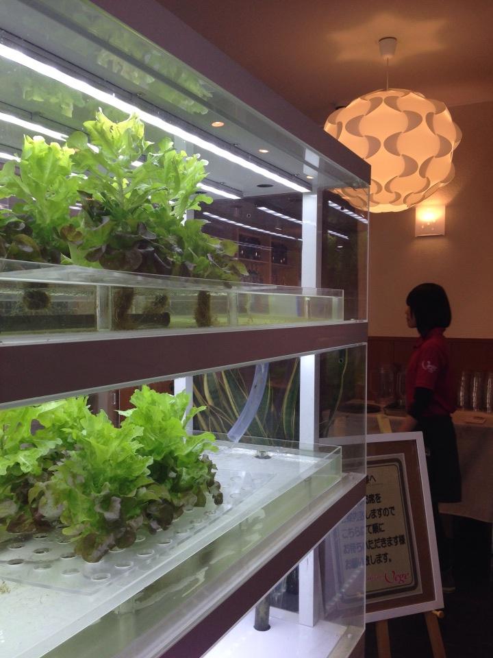 伏見にあるおいしいパンケーキ屋Vegiにも水耕栽培のコーナーがありました。まさに店産店消。