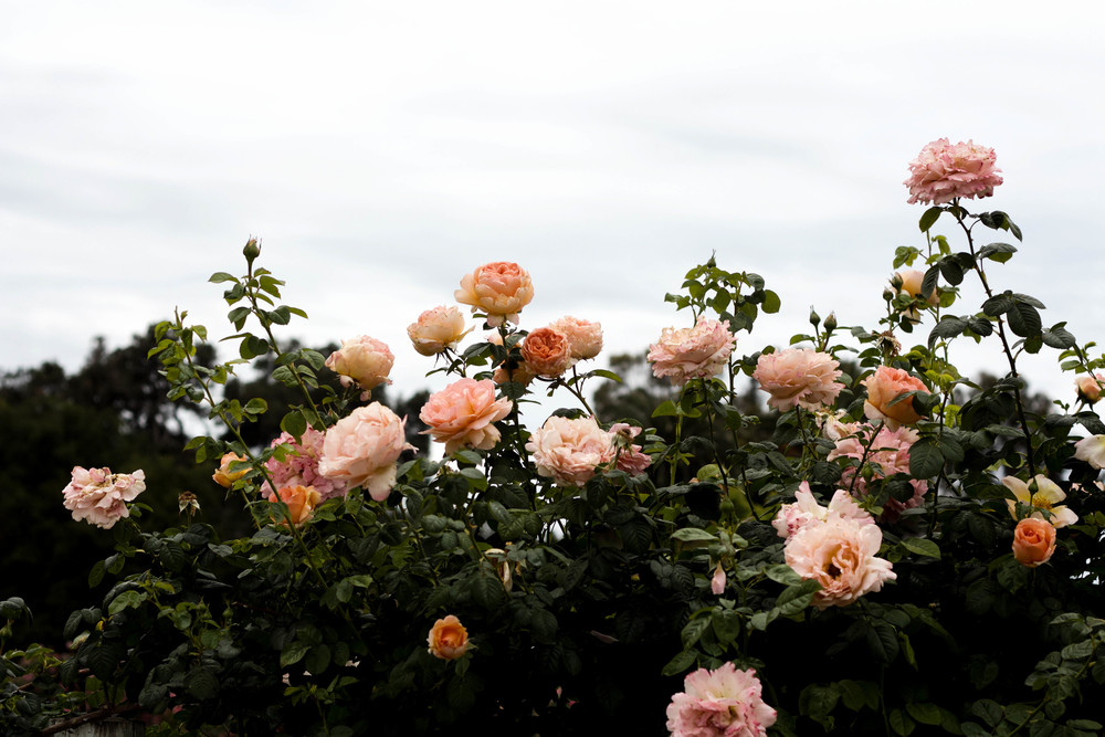Rose Story Farm | Jenn Sanchez