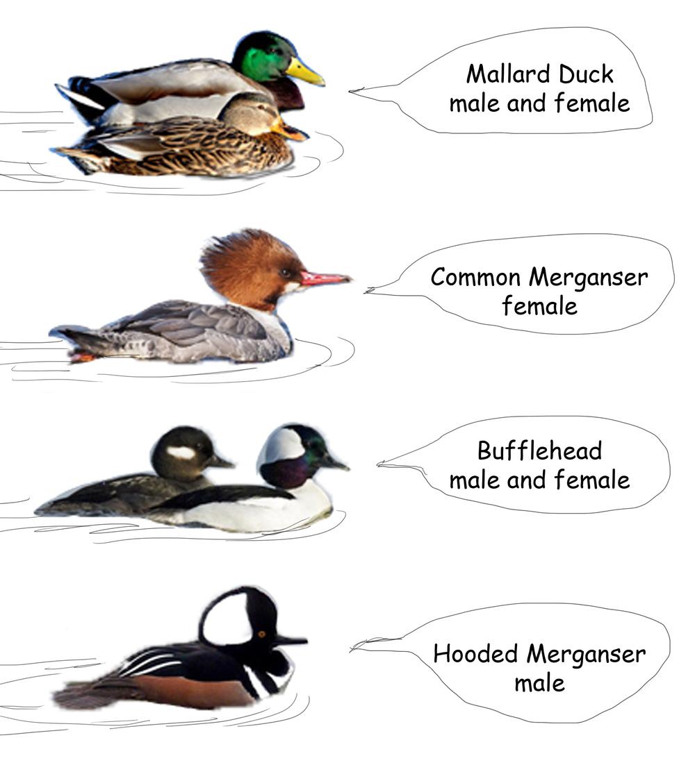 duck ID.jpg