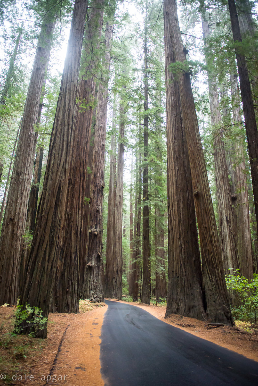 The largest swath of 'Old Growth' Redwoods, brought to you by Nelson Rockefeller. 98% of the original Redwoods in the US were harvested, meaning most of what we see today are infants compared to the giants that used to occupy our western coast.