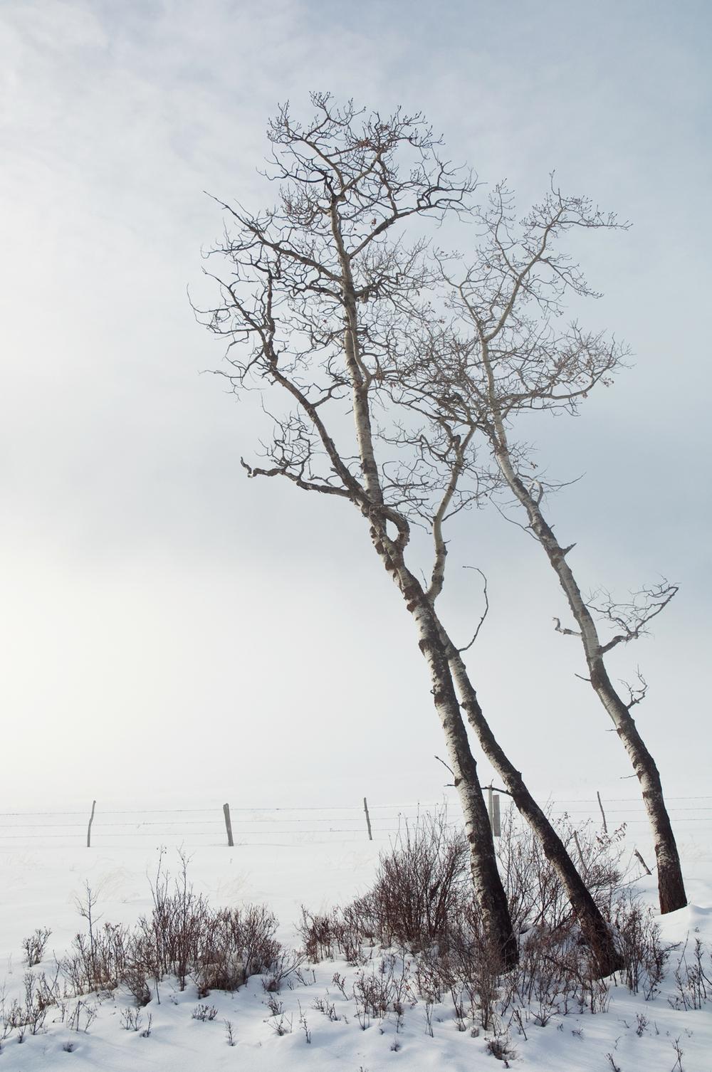 leaning-birch-web.jpg