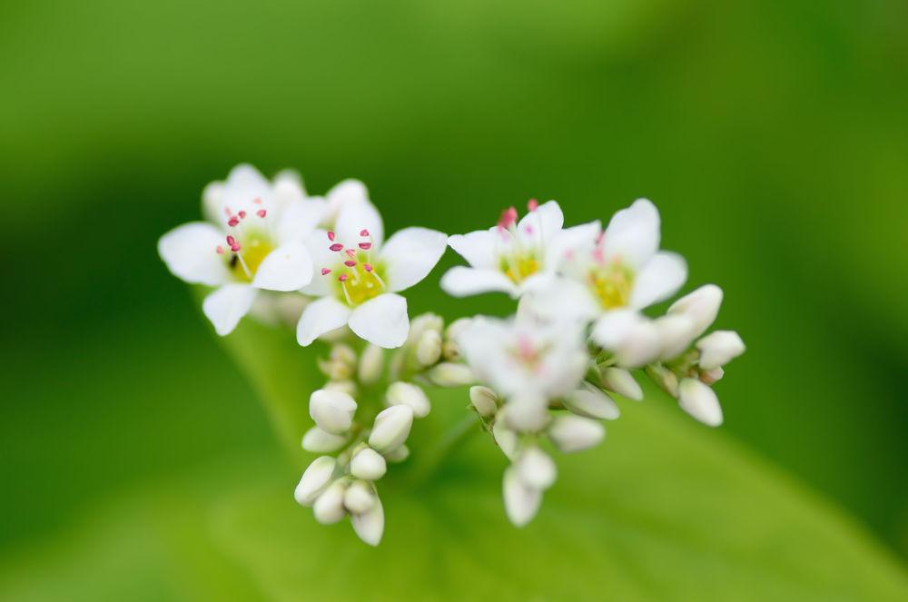 Buckwheat_flower.jpg