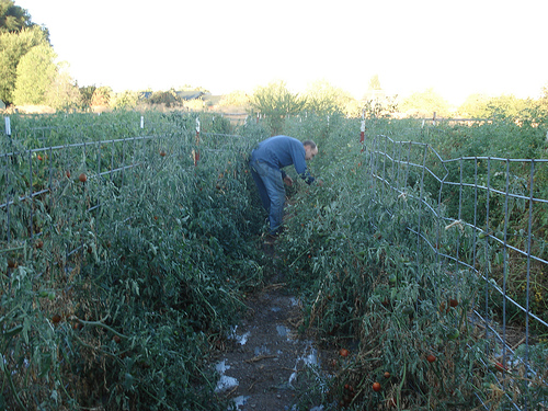 Dan Jackson, harvesting his famous heirloom tomatoes.
