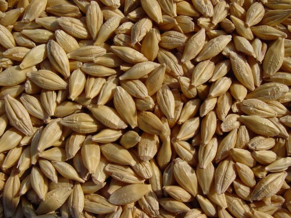 barley - JG.JPG