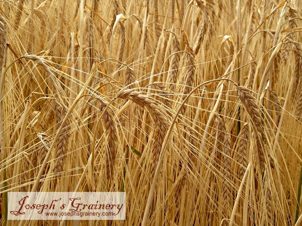 JG Barley closeup.jpg