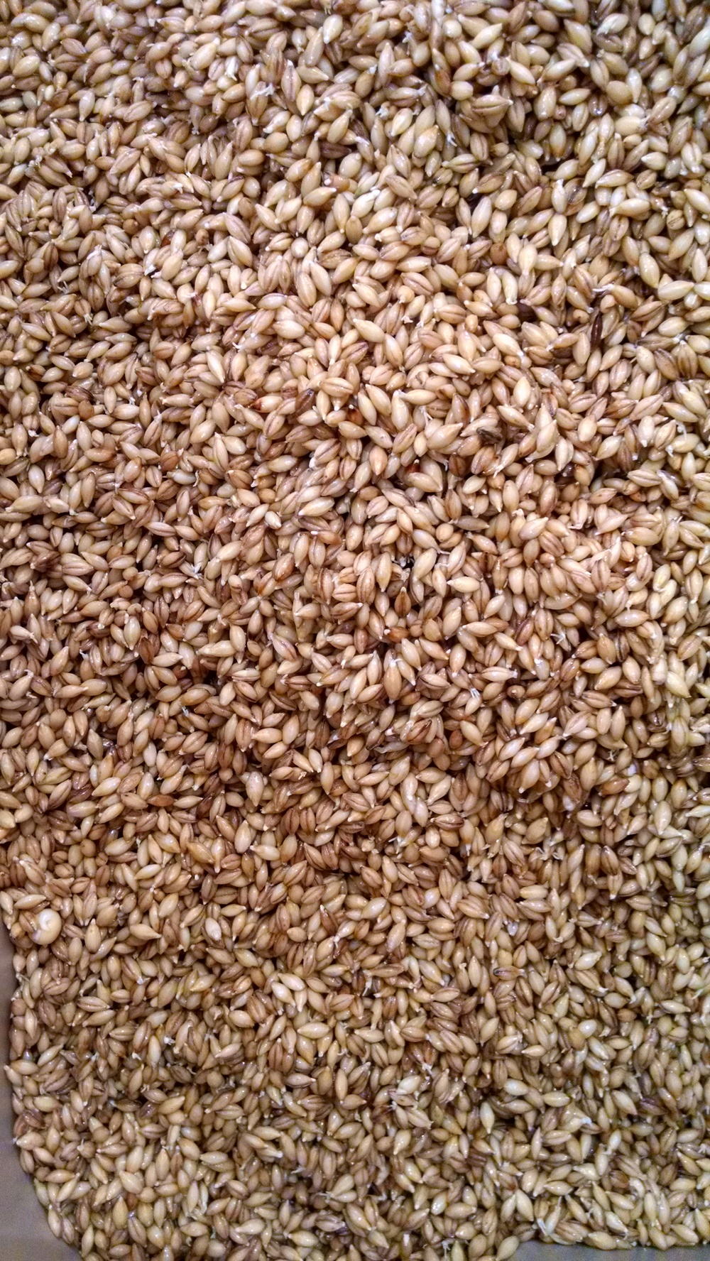 chitted grain from steep.jpg