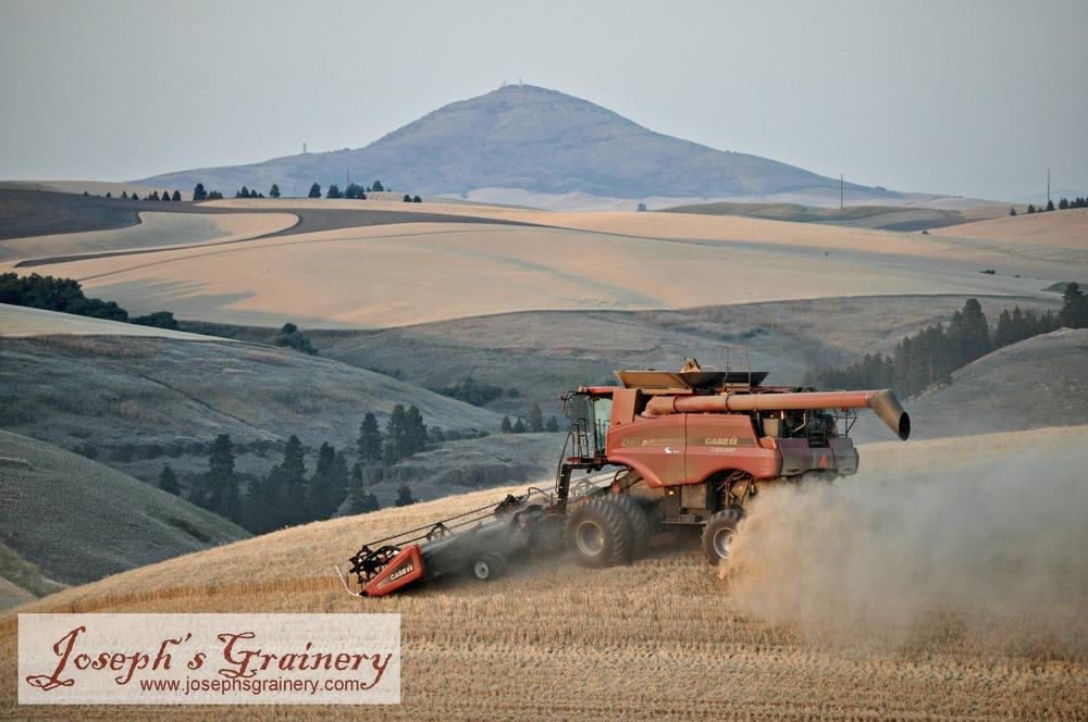 JG barley harvest 2013.JPG