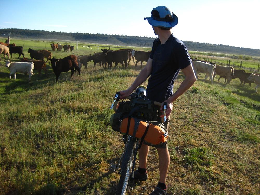 Ben's Cattle