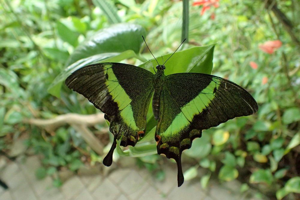 green butterfly.jpeg