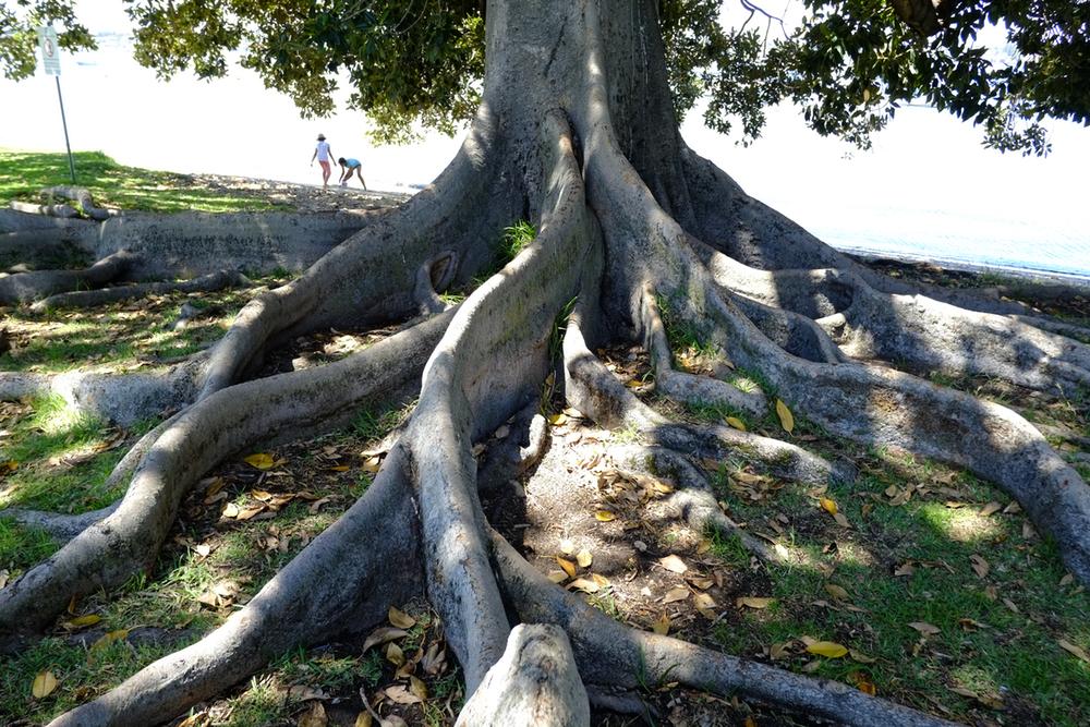 big roots.jpeg
