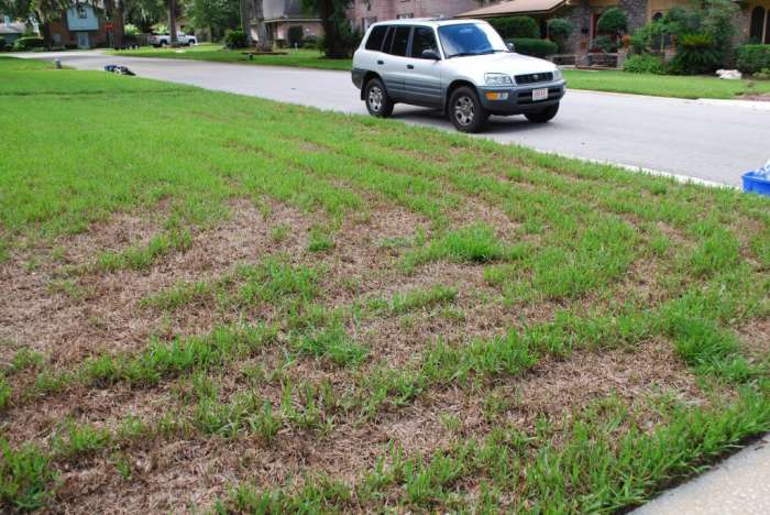 Example of a freeze damaged St. Augustine Grass