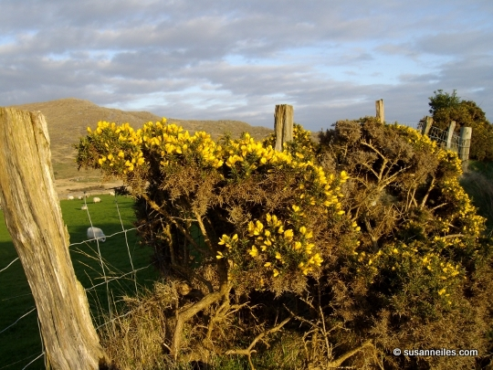 April Gorse, Photo by Susanne Iles (Beara Peninsula, County Cork, Ireland)
