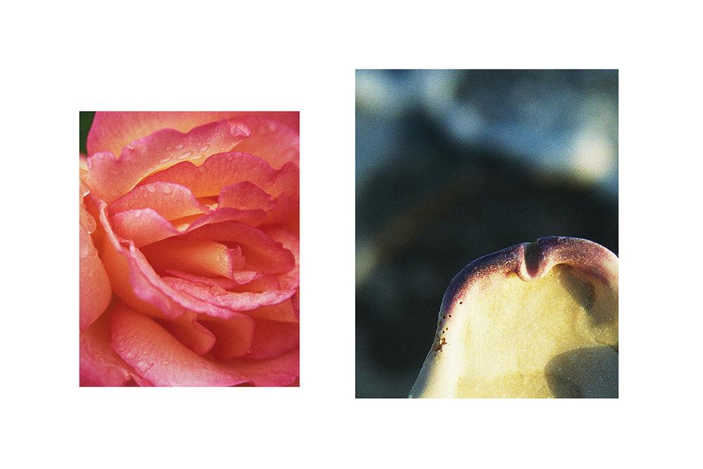 RoseShell copy.jpg
