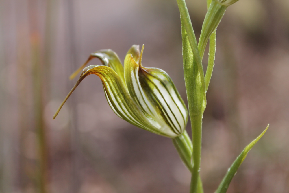 Jug Orchid