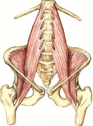 The psoas is actually two large muscles. See how it originates and connects all through the lumbar spine (lower back), running across the front of the pelvis and inserts into the lesser trochanter of the femur bones (thigh bones).