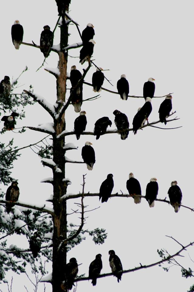 lots of eagles in tree.jpg