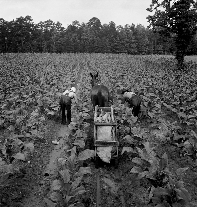 Dorothea Lange,  Tobacco Field, Early Morning , Shoofly, North Carolina, 1939, cm 38x40, framed cm 55x55